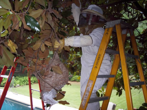 Honey bee hive removal in Marietta