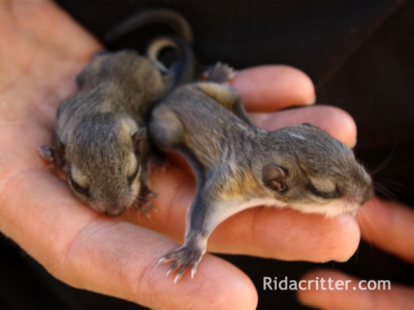 RAC technician holding baby flying squirrels
