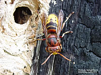 Top view of a European hornet