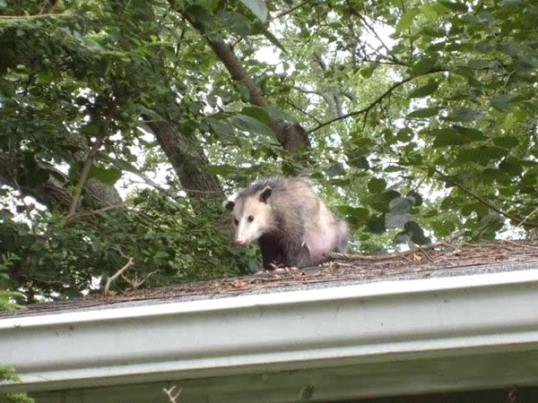 Opossum on a roof after being sealed out of the house