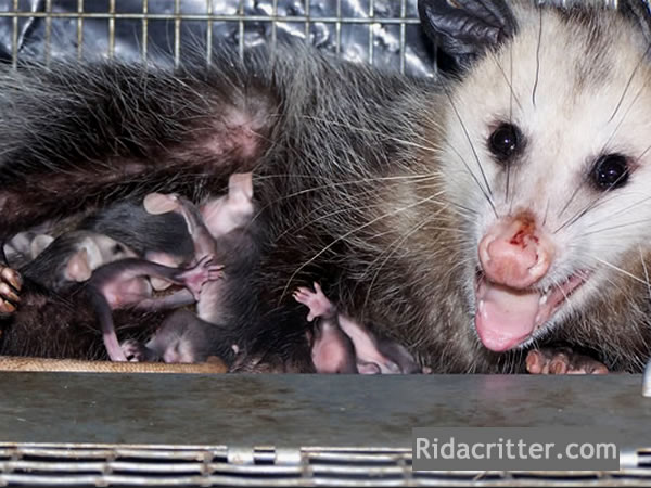 Family of opossums we removed and relocated together