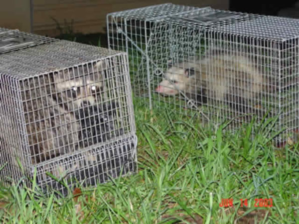 Possum and raccoon we removed from a house.
