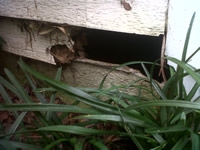 Raccoon hole near the ground going into a house