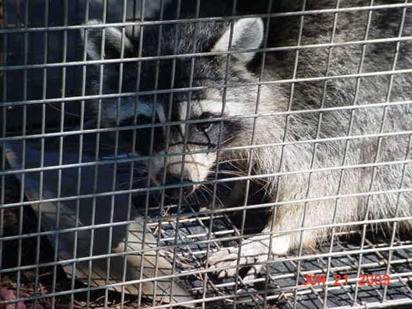 Raccoon in a trap after being removed from a home