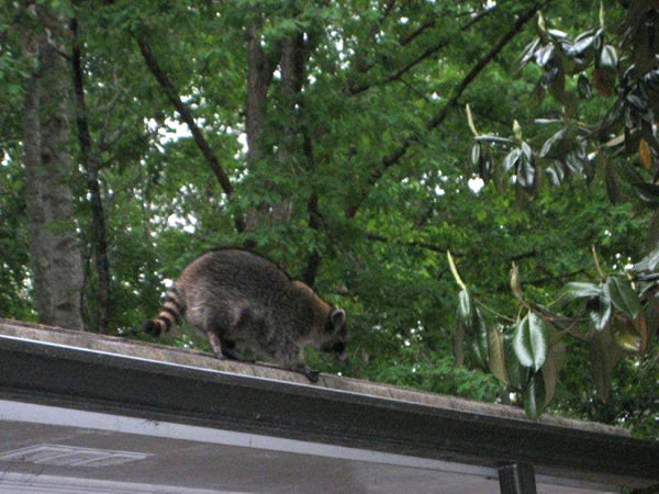 Raccoon walking along the roof of a house