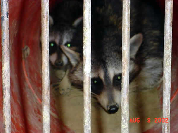 Raccoons in a trap after being removed from a home in Georgia