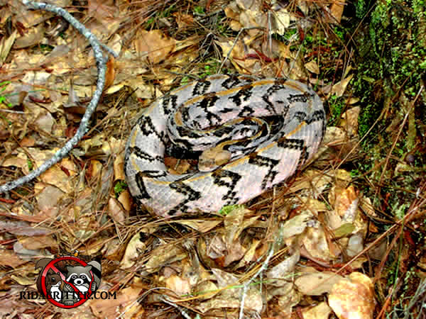 The timber rattlesnake is one of the venomous snakes of Georgia