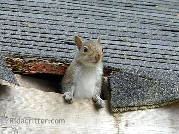 Worried squirrel at a squirrel-removal job